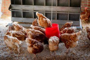 SFR draagt bij aan een duurzamere productie van dierlijke eiwitten