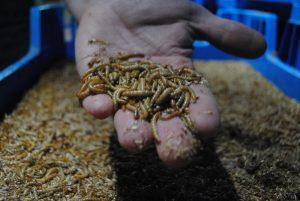 Vlaanderen onderzoekt kansen van insecten als eiwitbron
