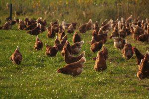 Na uitbraak vogelgriep geen versoepelingen ophokplicht