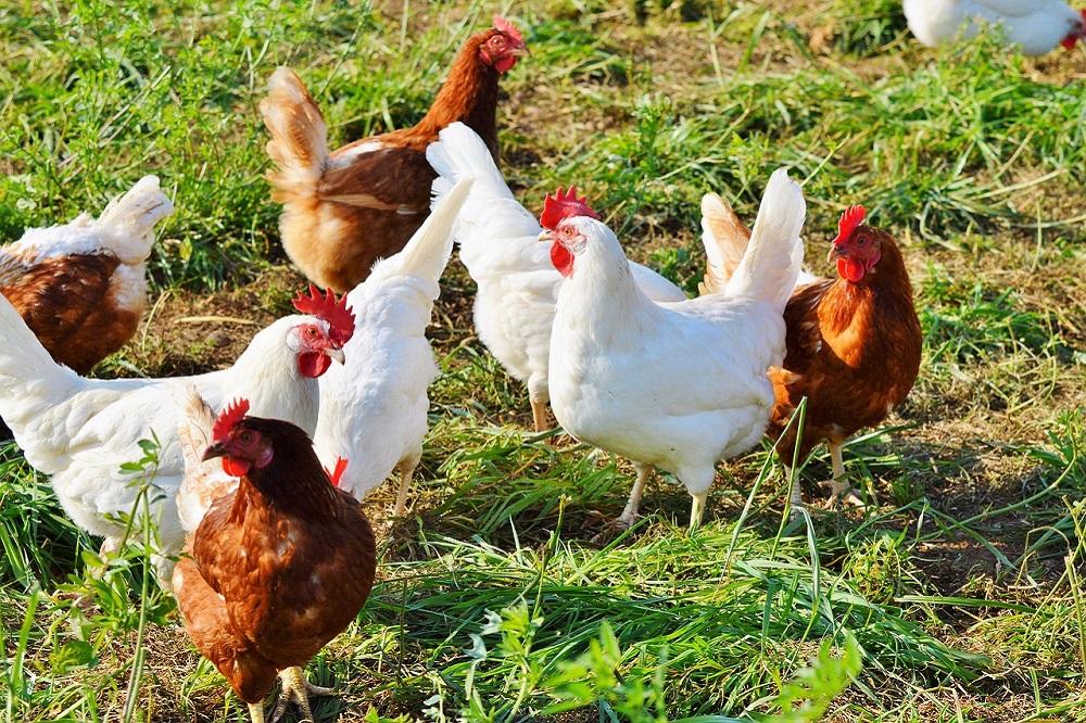 Risico besmetting vogelgriep neemt af
