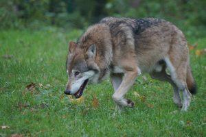 Wolf bijt gezonde koe dood in Oudsbergen