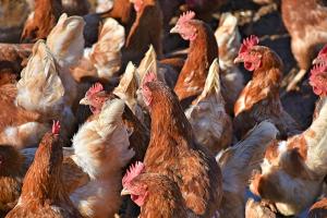 Nieuw geval van hoogpathogene vogelgriep in Moerzeke