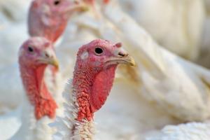Polen slaagt erin de export van kalkoenvlees uit te breiden