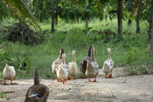 Derde besmetting met HPAI H5N8 door aangekochte besmette dieren